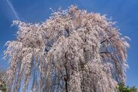 長野県 観音堂のしだれ桜