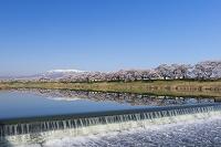 白石川堤一目千本桜と蔵王連峰