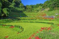 奈良県 ヒガンバナ咲く稲渕の棚田 神奈備の郷