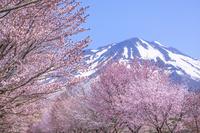 青森県 世界一の桜並木