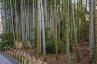 静岡県 修善寺温泉 竹林の小径