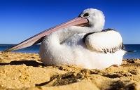 オーストラリア ペリカン
