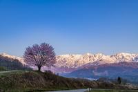 長野県 朝焼けの白馬連峰と野平の一本桜