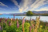 ニュージーランド ルピナス咲くテカポ湖畔