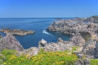 新潟県 岩ユリ咲く尖閣湾
