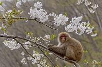 長野県 ニホンザルと桜