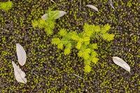 長野県 黄葉したカラマツの若木