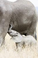 タンザニア ゾウ