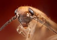ゴキブリの頭