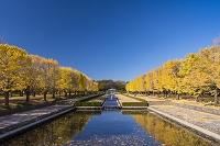 東京都 昭和記念公園イチョウ並木