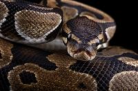 ボールニシキヘビ