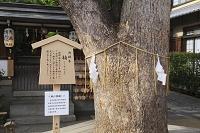 京都府 晴明神社 御神木の楠