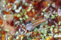 インドネシア コモド諸島 カエルウオの仲間