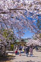 東京都 桜咲く上野東照宮の唐門と拝殿