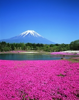 山梨県・富士河口湖町 富士芝桜まつりと富士山