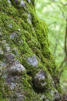 苔に覆われる大木ブナの根元