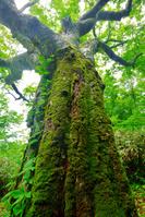 蝦夷梅雨のブナ原生林