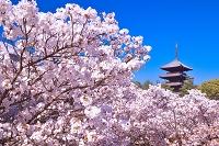 京都府 サクラの咲く仁和寺