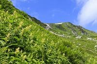 岐阜県 北アルプス双六小屋から三俣小屋への登山道付近に咲くコ...