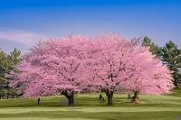 東京都 公園の桜と花見客
