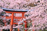 京都府 竹中稲荷神社 参道の鳥居と桜