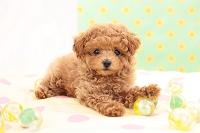 トイプードル 犬