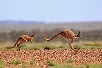 オーストラリア アカカンガルー