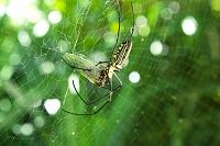 沖縄県 セミを食べるオオジョロウグモ