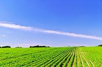 北海道 豆畑の丘の夏景色