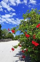 沖縄県 竹富島のハイビスカス