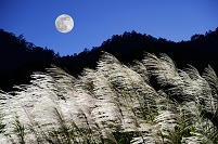 中秋の名月 ススキ