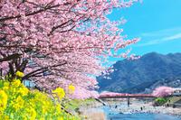 日本 静岡県 伊豆 河津桜