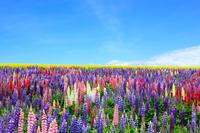 北海道 花畑