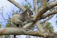 オーストラリア ユーカリの木に登るコアラ