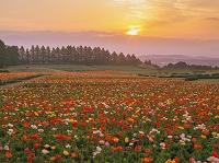 宮崎県 アイスランドポピー咲く生駒高原と朝日
