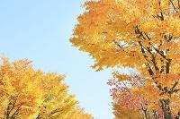 長野県 塩尻市 黄葉の並木