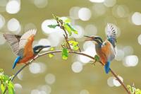 北海道 カワセミ(幼鳥)