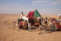 エジプト ラクダ