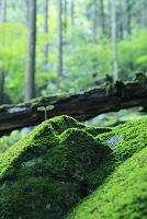 苔むす岩と若葉