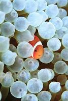 海中のイメージ ハマクマノミの幼魚