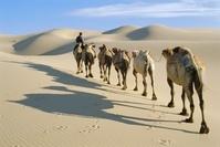 モンゴル ラクダの行列