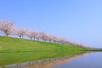 兵庫県 水面に投影するおの桜づつみ回廊の桜並木