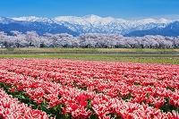 富山県 チューリップと舟川の桜並木と北アルプス(朝日岳)