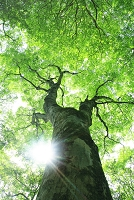 巨樹カエデの新緑 太陽