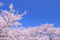 石川県 桜の花と青空