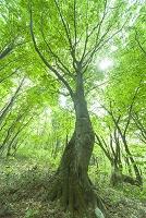 秋田県 獅子ヶ鼻湿原のブナ林