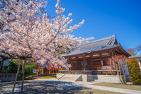 桜 智清寺 本堂