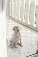 ラブラドールレトリバー犬