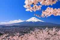 山梨県 新倉山浅間公園の桜と富士山