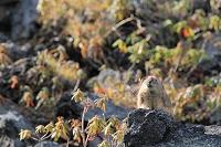 北海道 十勝岳のナキウサギ